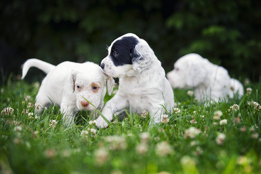 English Setter Puppies: English Showthread Breed