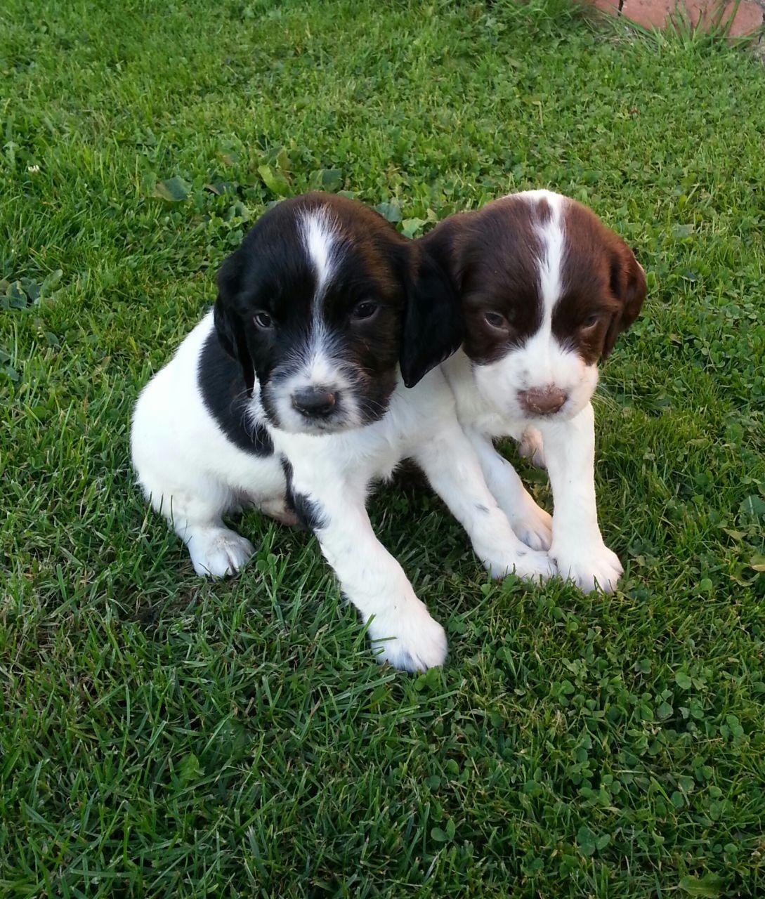 English Springer Spaniel Puppies: English Springer Spaniel Puppies Breed