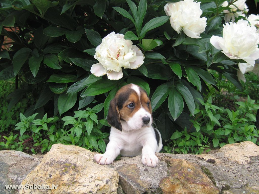 Estonian Hound Puppies: English Toy Terrier Black Tan Dog S Viewed Persons Breed