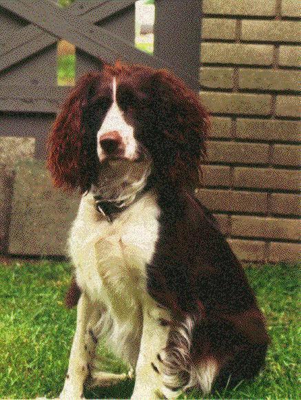 English Springer Spaniel Dog: English View Breed