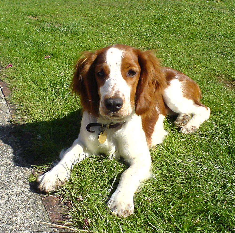 English Water Spaniel Puppies: English Welsh Springer Spaniel Breed