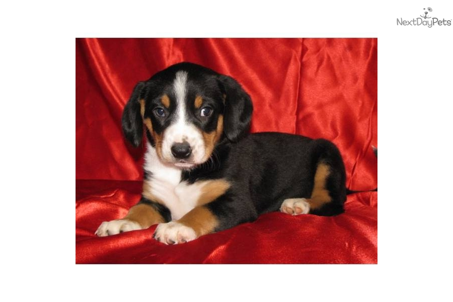 Entlebucher Mountain Puppies: Entlebucher Afdc B Breed