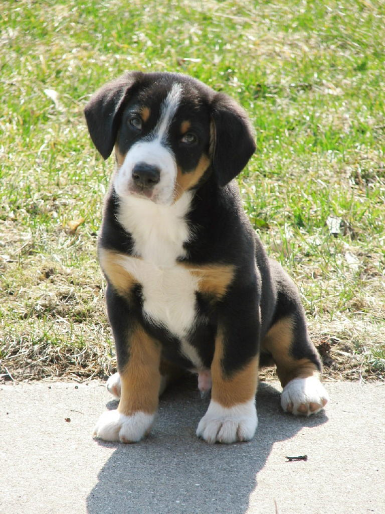 Entlebucher Mountain Puppies: Entlebucher Breed