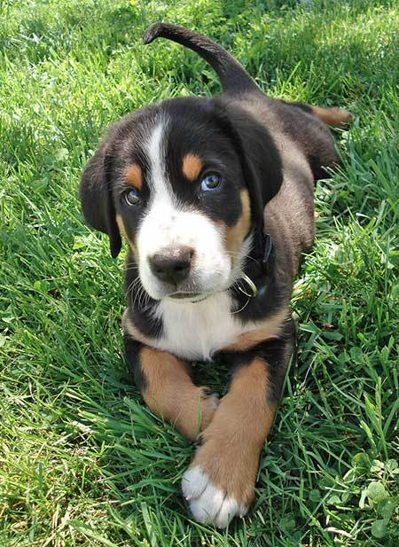 Entlebucher Mountain Puppies: Entlebucher Coda The Greater Swiss Mountain Dog Breed