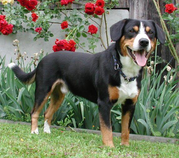 Entlebucher Mountain Dog: Entlebucher Entlebucher Sennenhund Breed