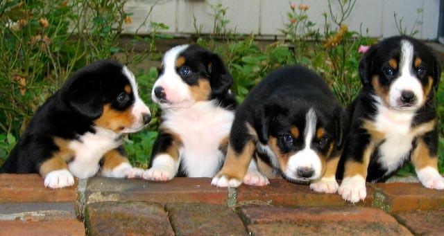 Entlebucher Mountain Dog: Entlebucher Know About Entlebucher Mountain Dog Breed