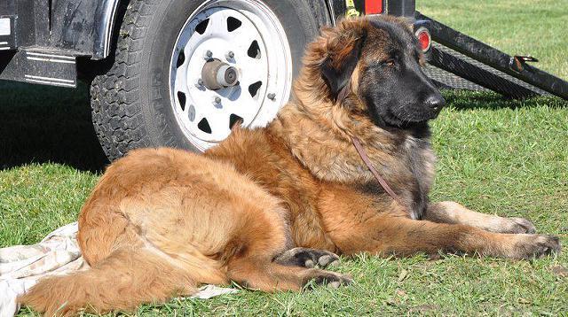 Estrela Mountain Puppies: Estrela Enlarge Breed