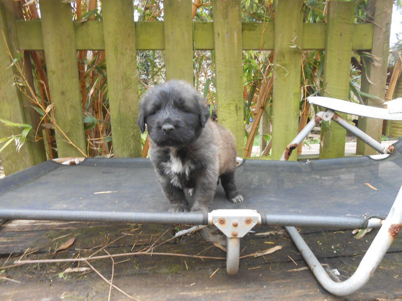 Estrela Mountain Puppies: Estrela Estrela Mountain Dog Puppies For Sale Plymouth Breed