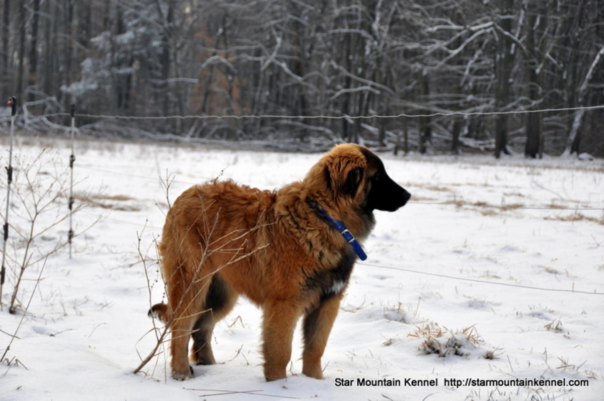 Estrela Mountain Puppies: Estrela Estrela Mountain Dog Puppies Rare In Usa Breed