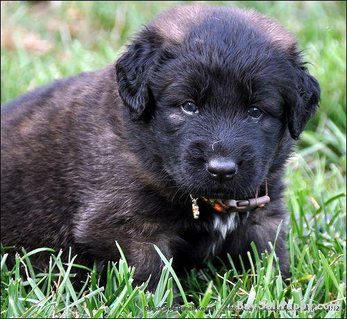 Estrela Mountain Puppies: Estrela Stabled Estrela Mountain Dog Puppies For Adoptionpd Breed