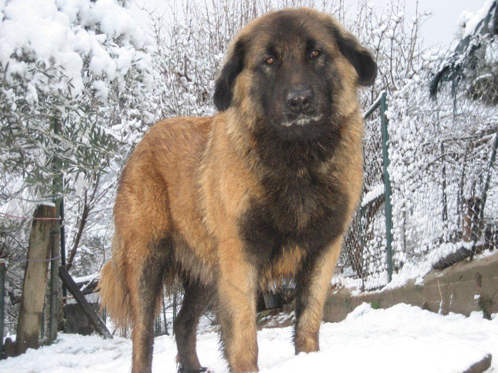 Estrela Mountain Puppies: Estrela What The Best Dog For Estrela Mountain Pomsky Picture Breed
