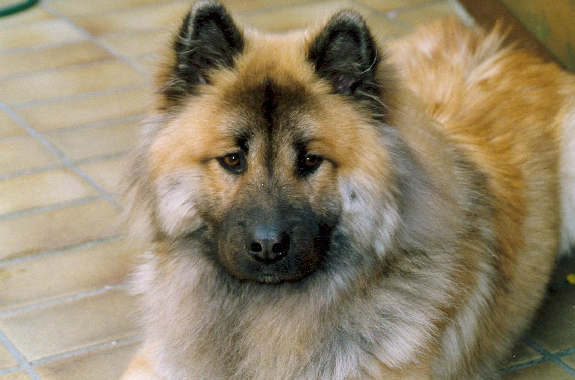 Eurasier Dog: Eurasier Eurasier Dog Looking At You Breed
