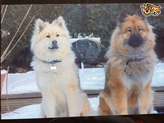 Eurasier Puppies: Eurasier Eurasier Puppies Excellent Pedigree Hartlepool Breed