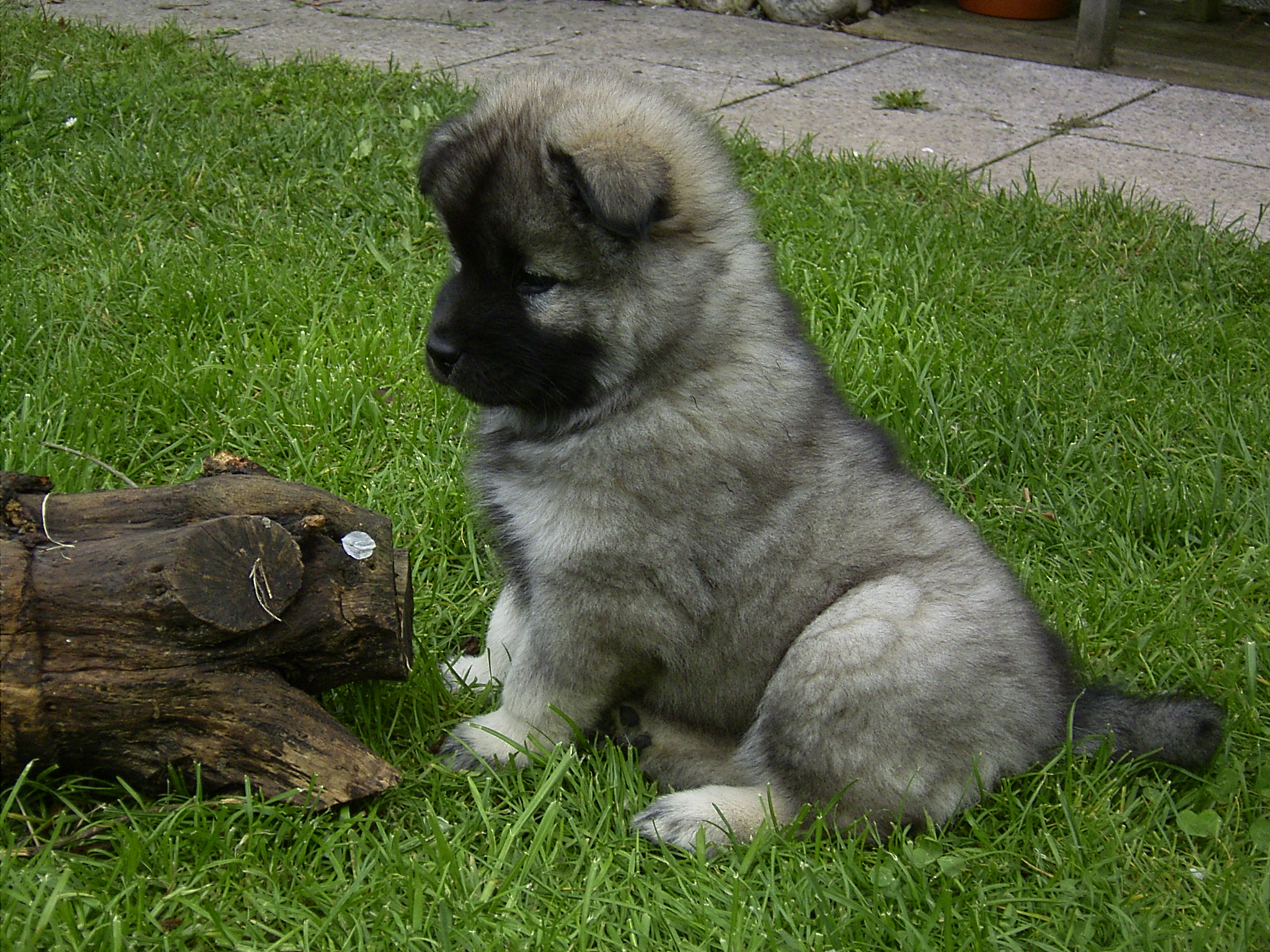 Eurasier Dog: Eurasier Eurasier Puppy On The Grass Breed