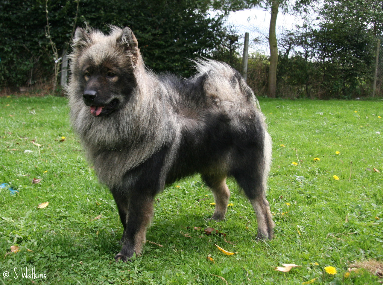 Eurasier Dog: Eurasier Grey Eurasier Dog Breed