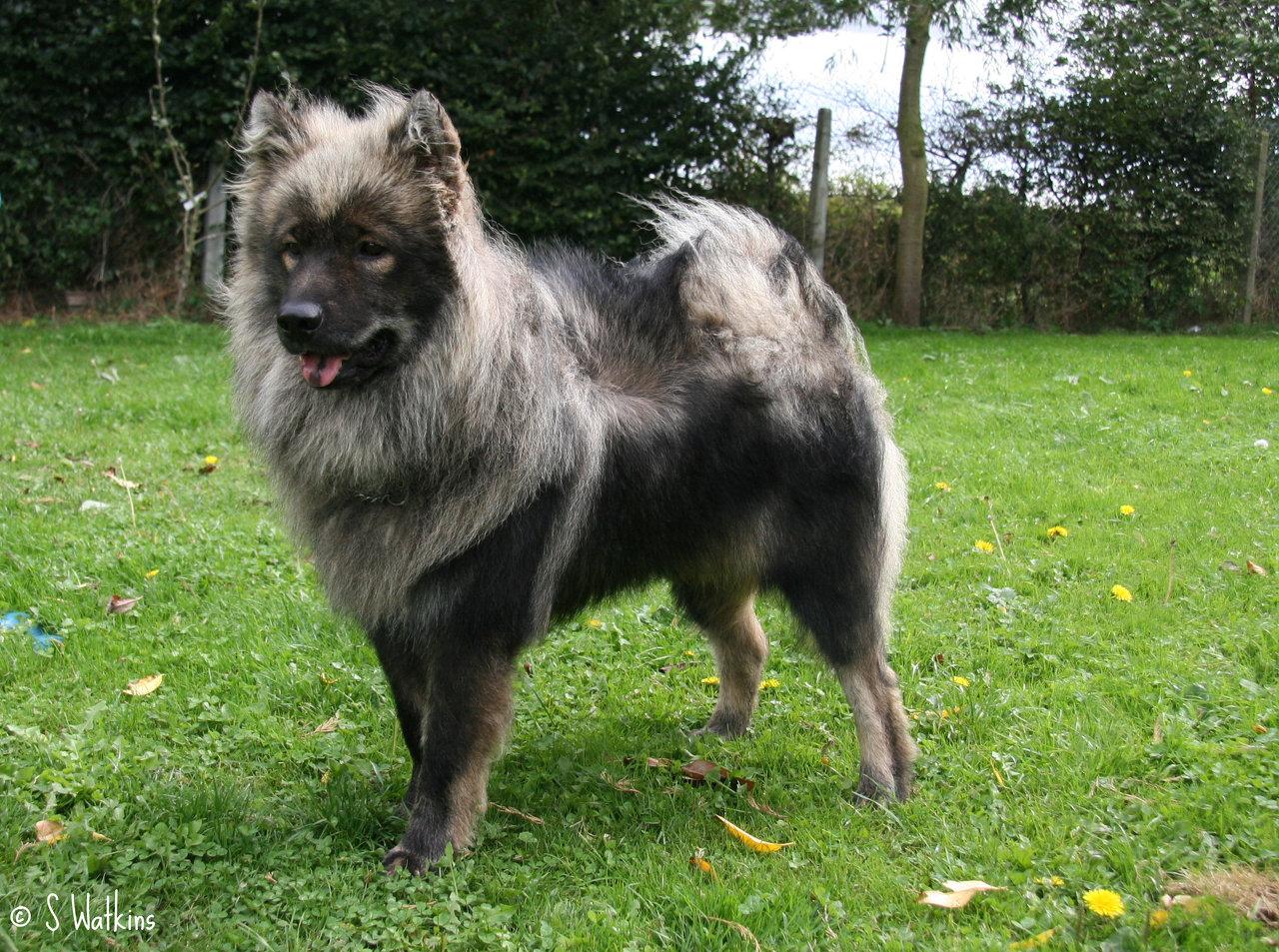Eurasier Dog: Eurasier Grey Eurasier Dog Breed