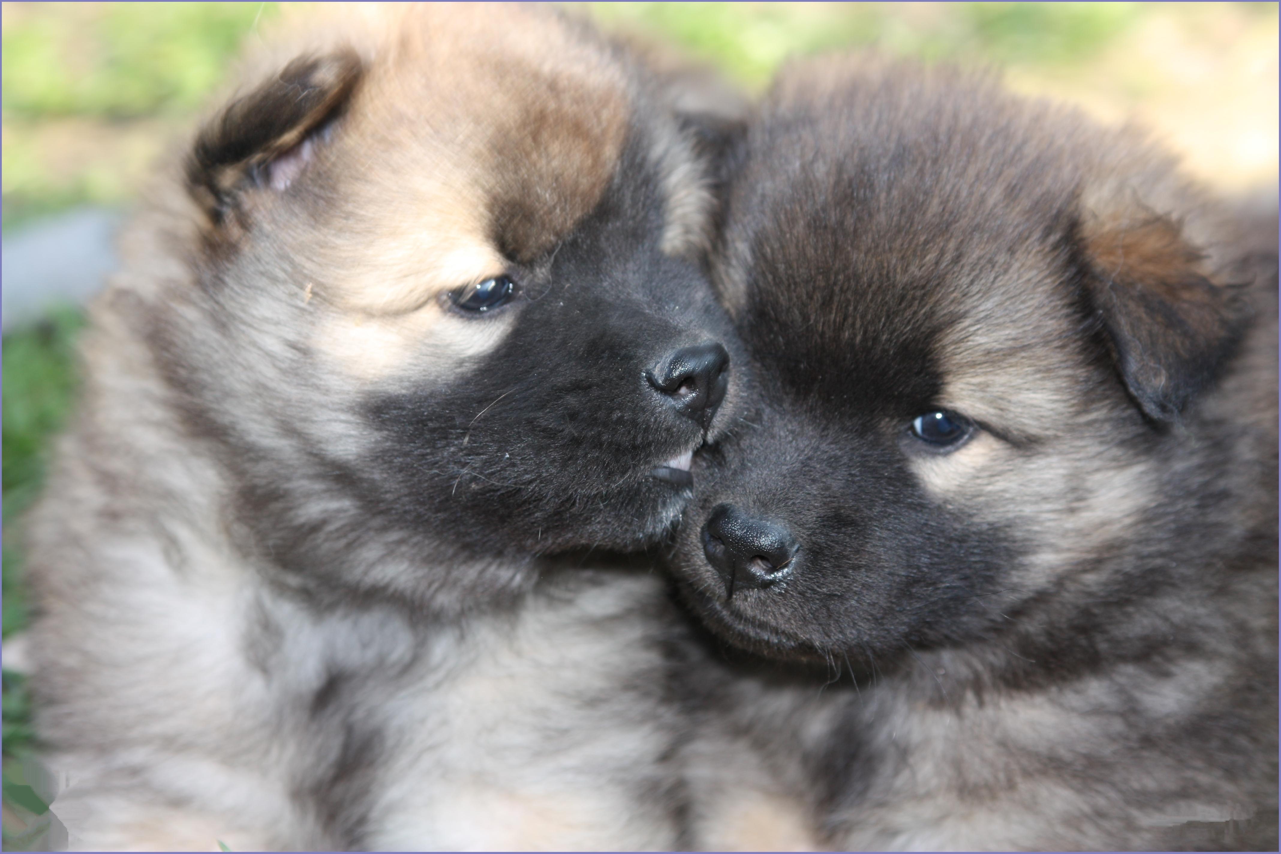 Eurasier Puppies: Eurasier Male Dog Names Breed