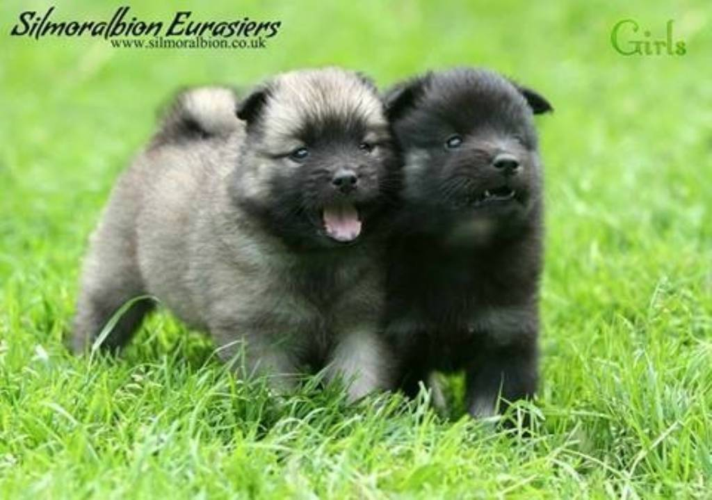 Eurasier Puppies: Eurasier Puppies For Sale Breed