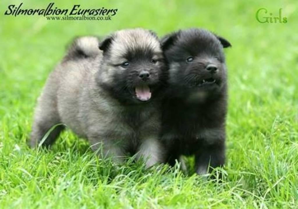 Eurasier Puppies Puppy Dog Gallery