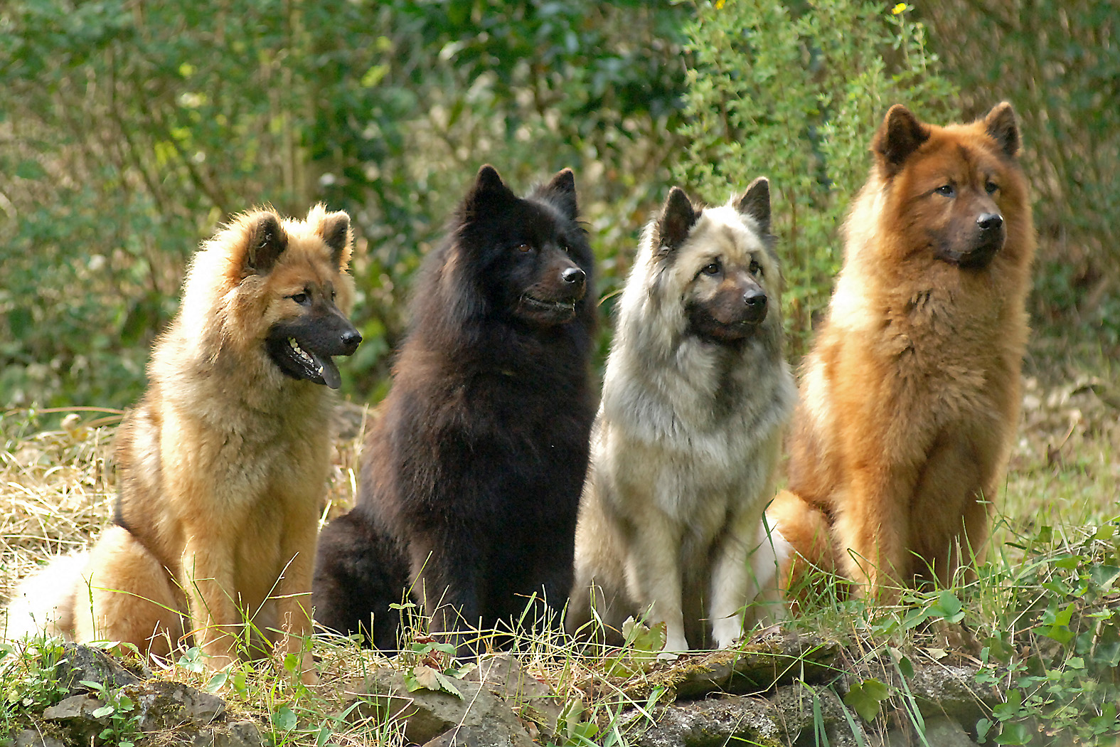 Eurasier Dog: Eurasier Seite Breed