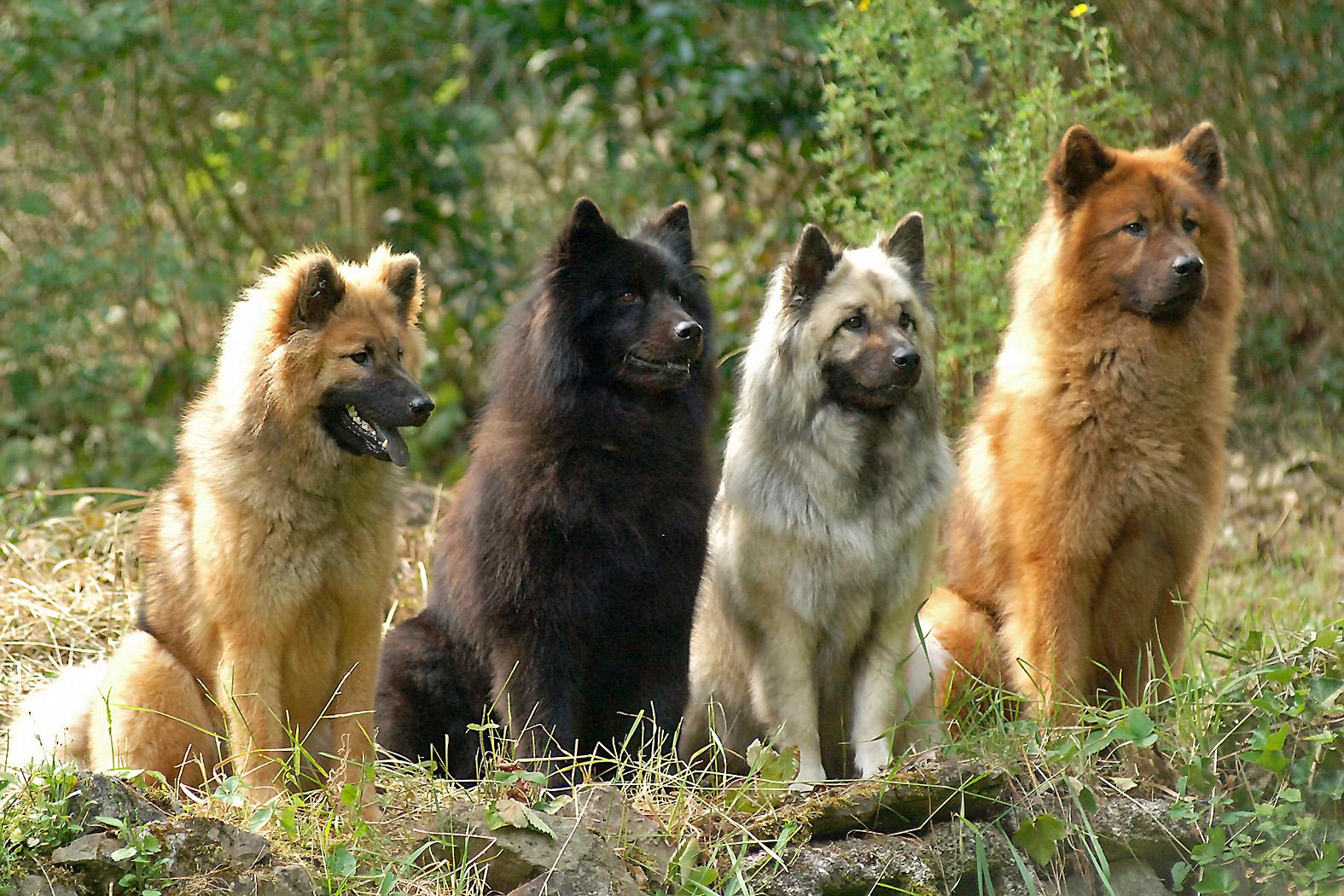 Eurasier Dog: Eurasier Seite Breed