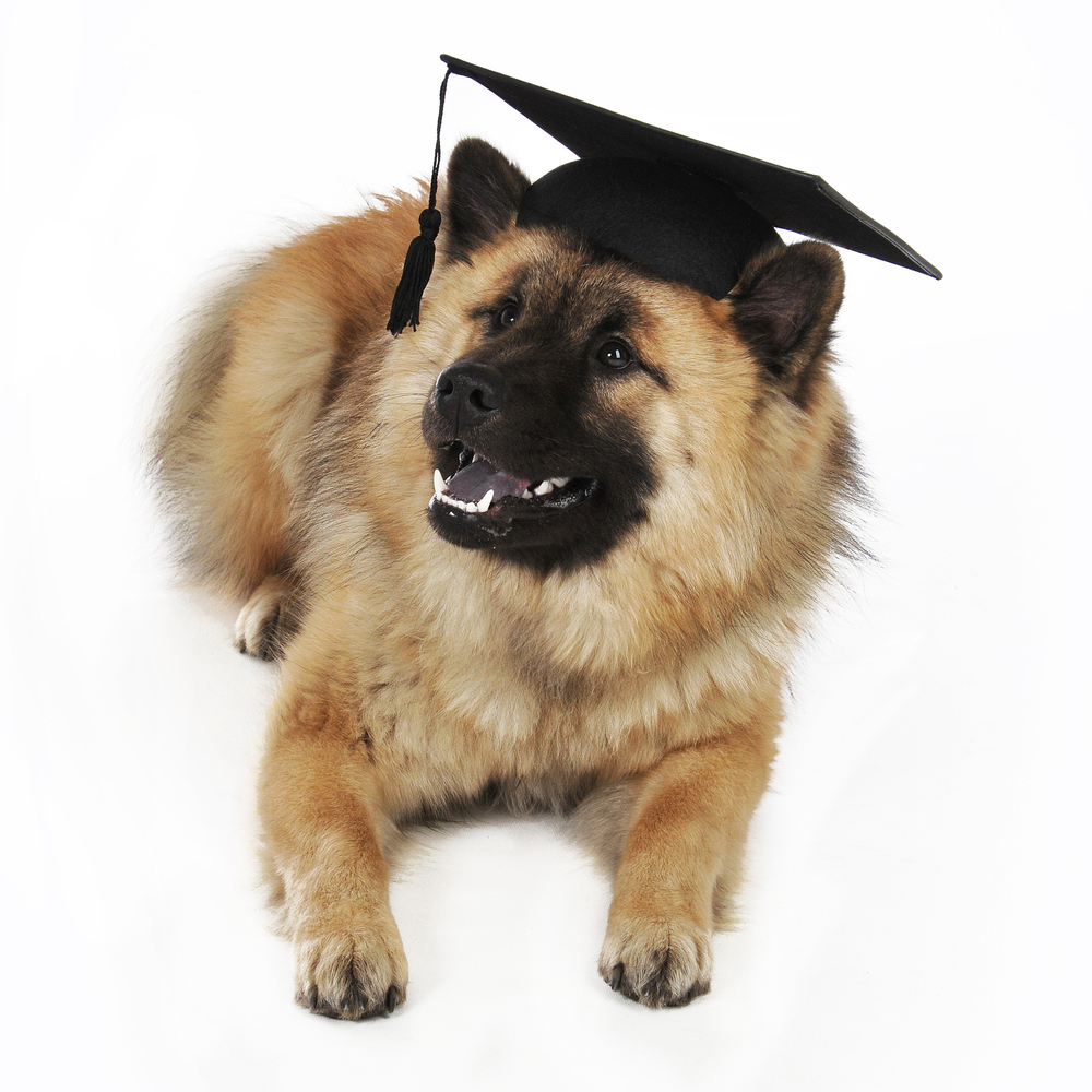 Eurasier Dog: Eurasier Student Eurasier Dog Breed