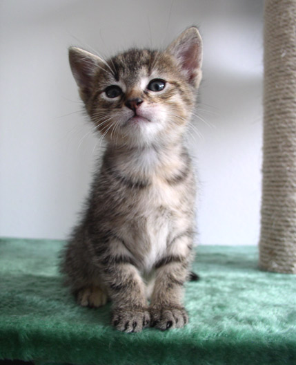 European Shorthair Kitten: European Aitne Breed