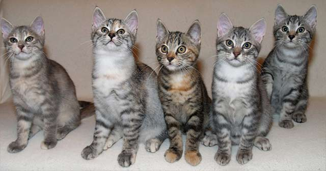 European Shorthair Cat: European European Shorthair Chat Europeen Breed