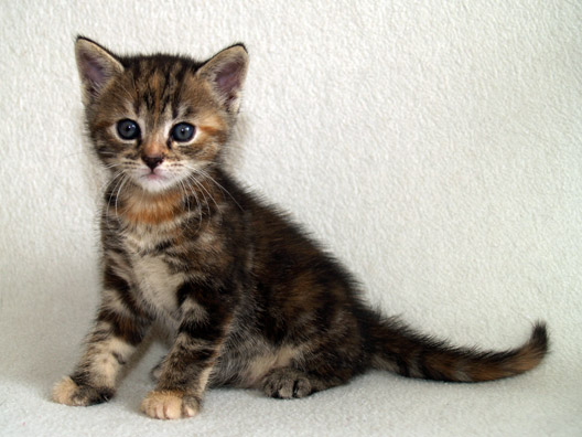European Shorthair Kitten: European European Shorthair Kitten Breed