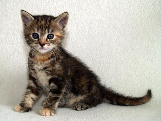 European Shorthair Kitten: European European Shorthair Kitten Breed