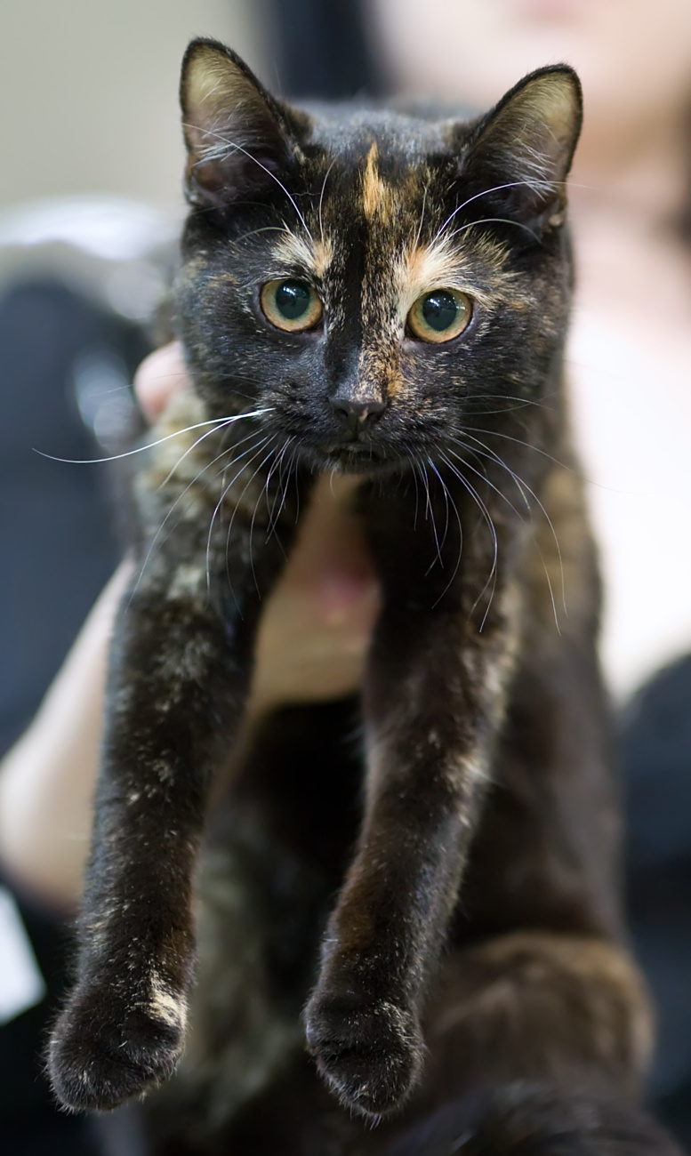 European Shorthair Cat: European Fileeuropeanshorthair Ery Sydcatshowhyvinkcaca Breed