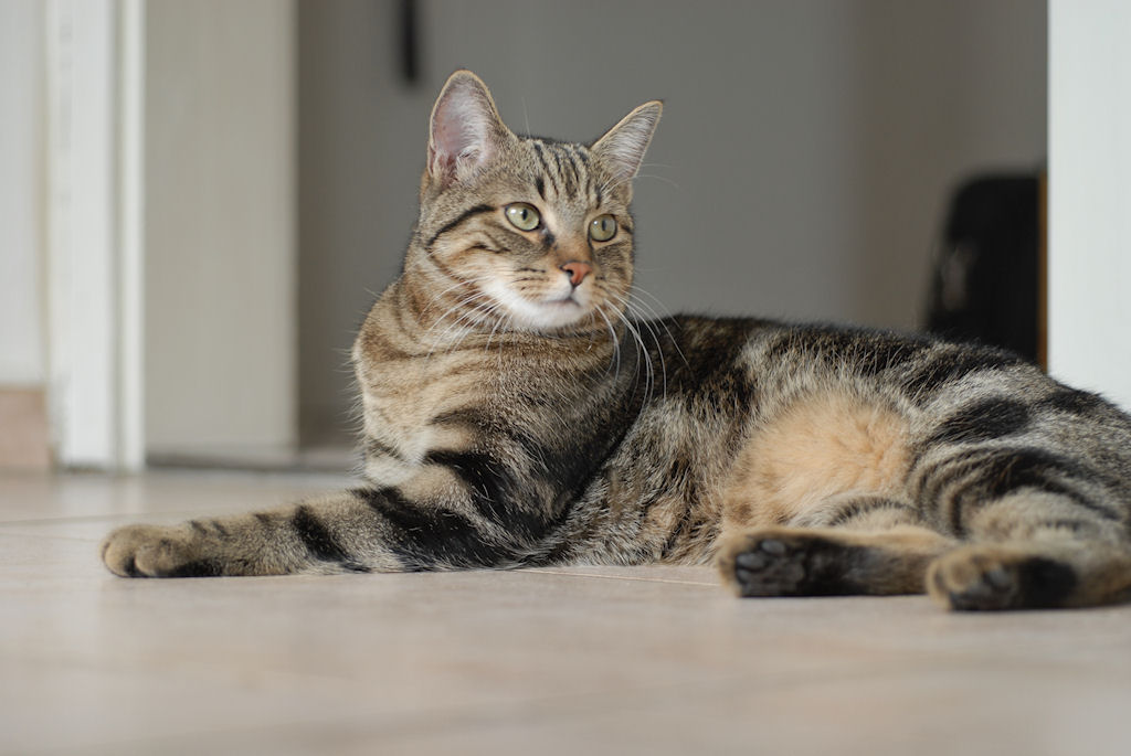 European Shorthair Kitten: European Fond Ecran De Chat Shothair Europeen Tabby Breed