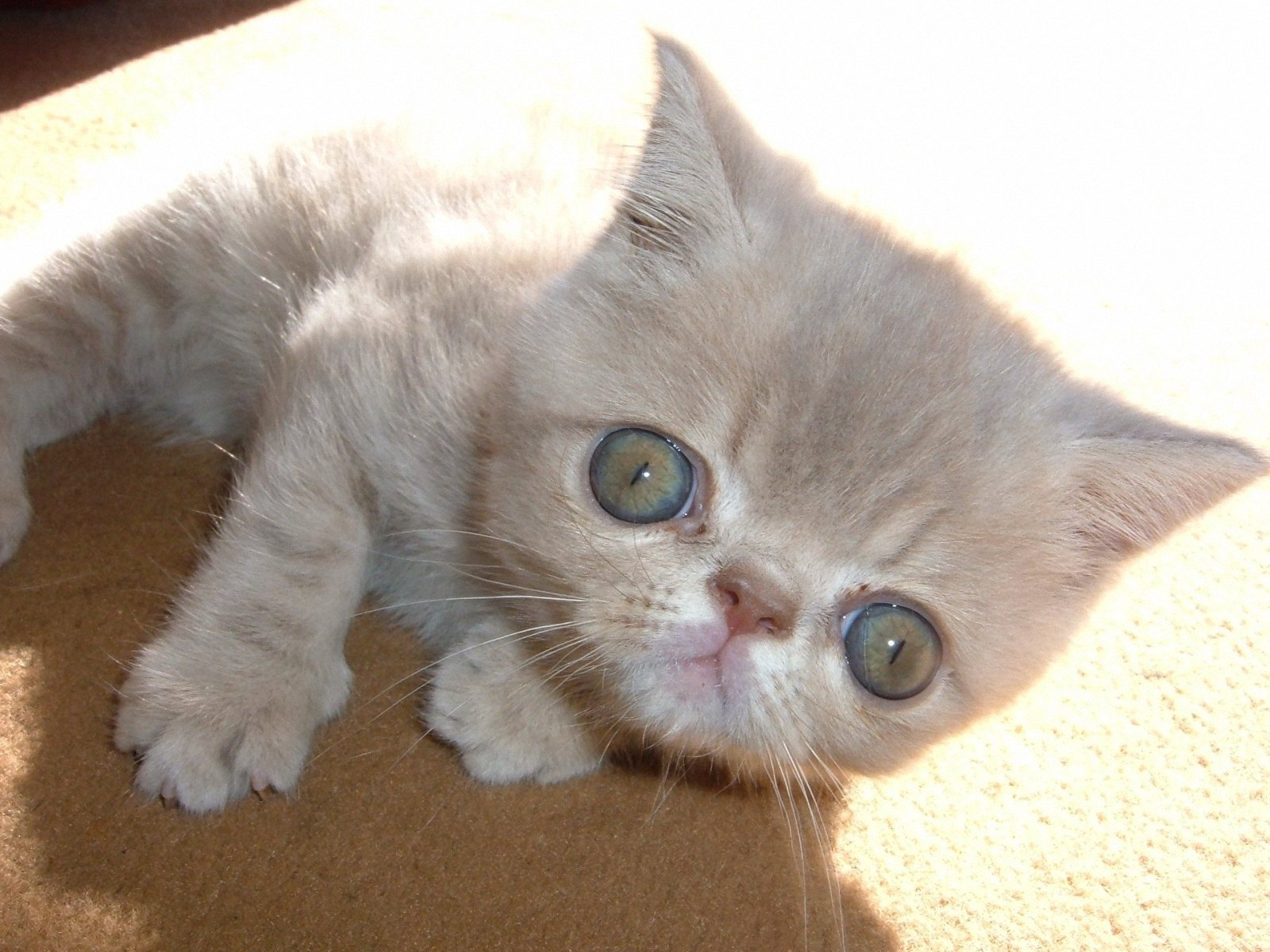Exotic Shorthair Cat - Puppy Dog Gallery