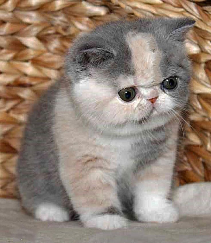 Exotic Shorthair Kitten: Exotic Breed
