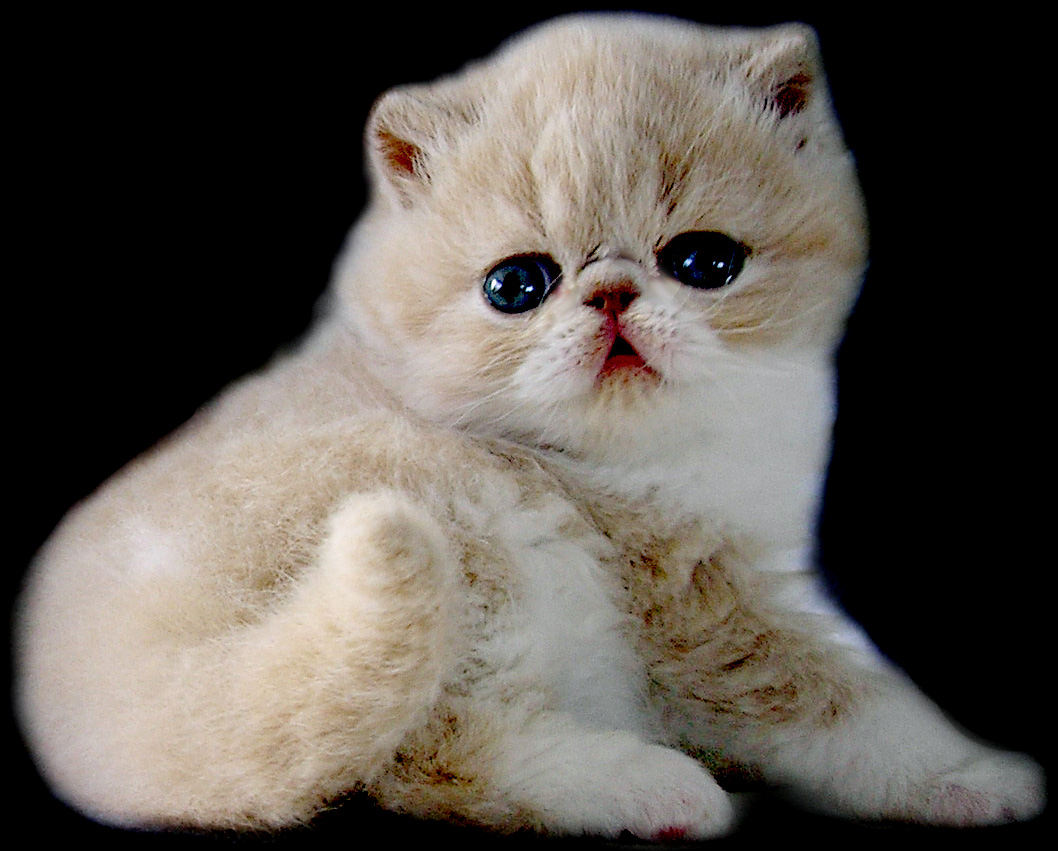 Exotic Shorthair Kitten: Exotic Cute Exotic Shorthair Kittens Breed