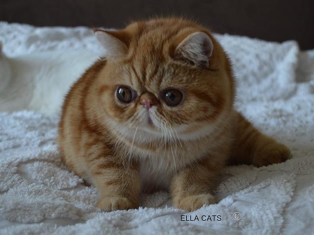 Exotic Shorthair Cat: Exotic Exotic Shorthair Cat Breed
