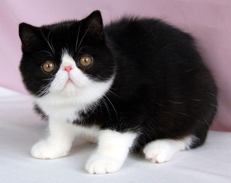 Exotic Shorthair Cat: Exotic Exotic Shorthair Cat Tattoos Breed