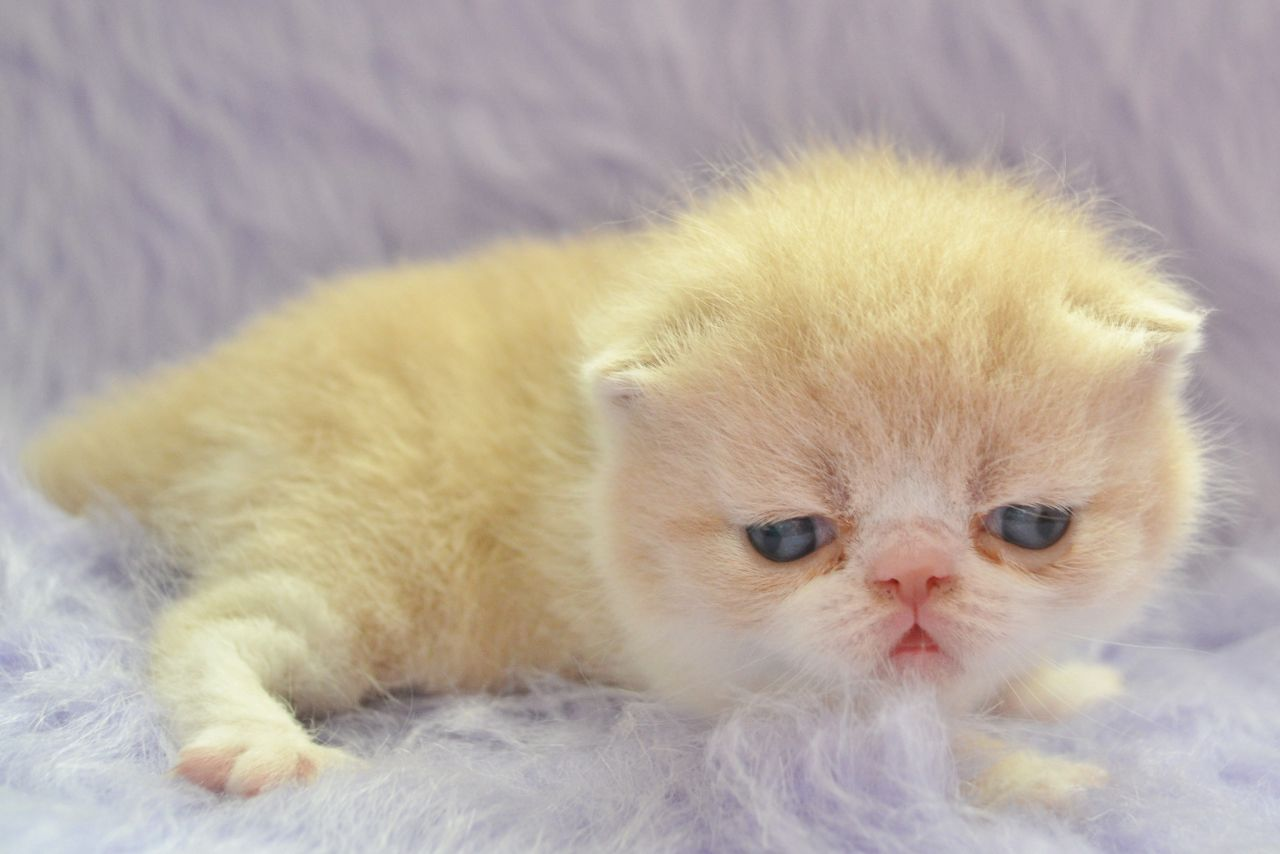 Exotic Shorthair Kitten: Exotic Exotic Shorthair Kittens Breed
