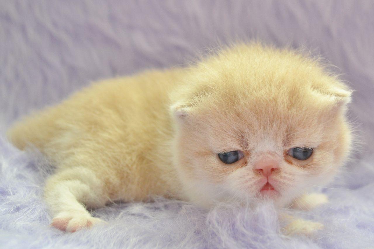 Exotic Shorthair Kitten: Exotic Exotic Shorthair Kittens Breed