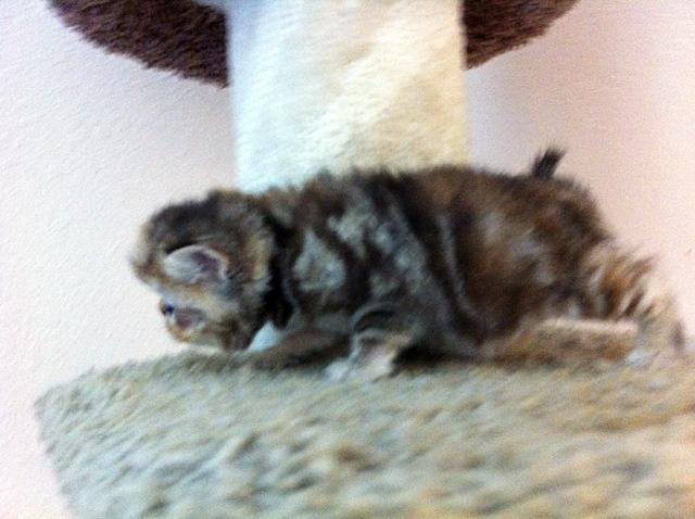 Exotic Shorthair Kitten: Exotic Kittens Breed