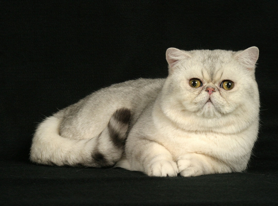 Exotic Shorthair Cat: Exotic Most Popular Cat Breeds In The World