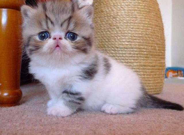 Exotic Shorthair Cat: Exotic Page Breed