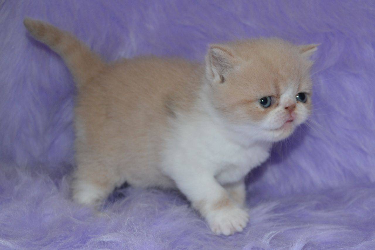 Exotic Shorthair Kitten: Exotic Purebred Exotic Shorthair Kittens Breed