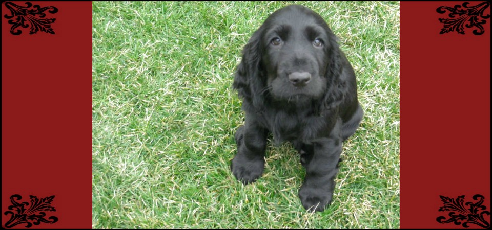 Field Spaniel Puppies: Field Field Spaniel Breeders