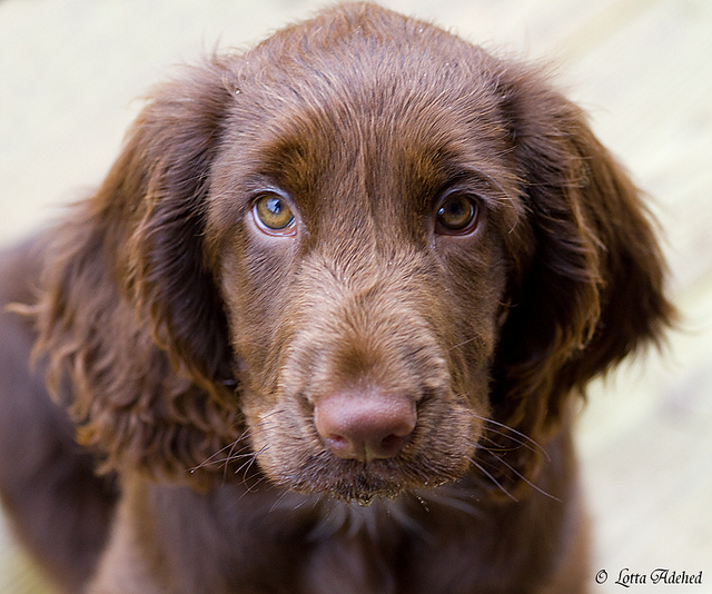 Field Spaniel Puppies: Field Field Spaniel Puppies Adopt A Field Spaniel Breed