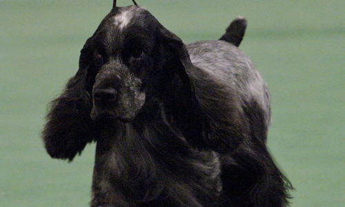 Field Spaniel Puppies: Field Puppies For Sale Breed