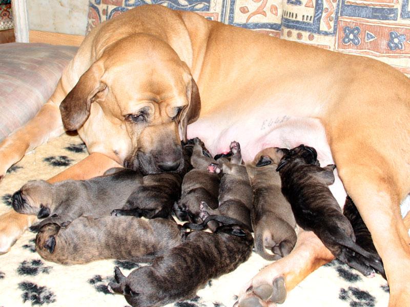 Fila Brasileiro Puppies: Fila Fila Brasileiro Puppies Breed
