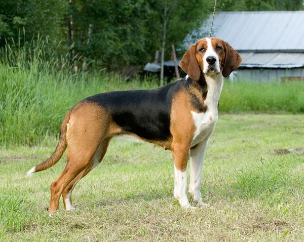 Finnish Hound Dog: Finnish Beautiful Finnish Hound Dog Breed
