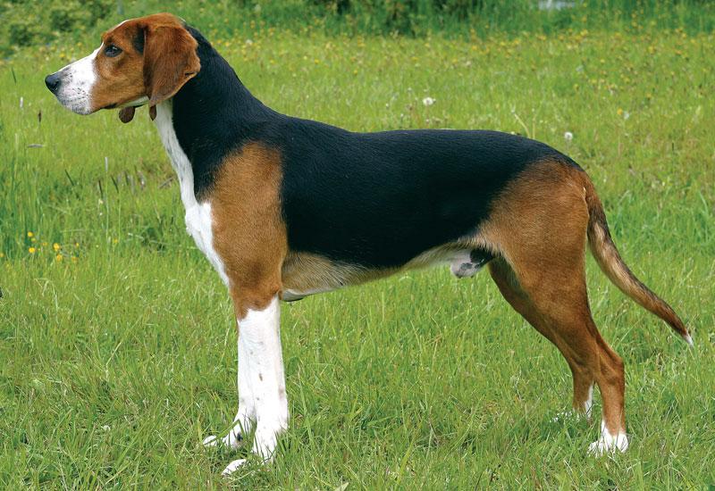 Finnish Hound Dog: Finnish Finnish Hound Infoguidepictures Dog Breeds