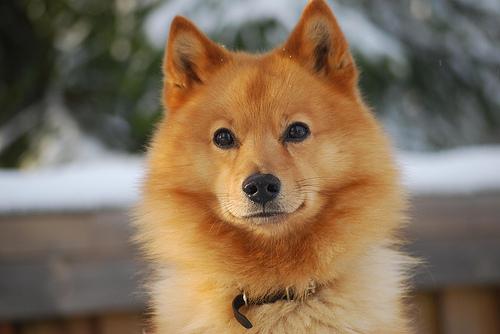 Finnish Spitz Dog: Finnish Finnish Spitz Dog S Breed